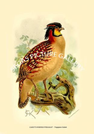 Volume 1 (1895) Sand Grouse, Partridges, Pheasants